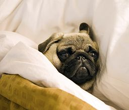 256px-Pug_lying_in_bed_with_its_head_on_the_pillow