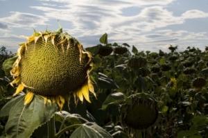 Dead Sunflowers by patrisyu