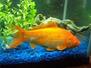 picfish